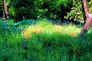 Greenery Drawings - Patch of Early Morning Sunlight on Grassy Meadow by PAMELA Smale Williams