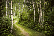 Hiking Posters - Path in birch forest Poster by Elena Elisseeva
