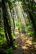 Green Forest Photos - Path in sunlit forest by Elena Elisseeva