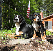 Greater Swiss Mountain Dog Prints - Patriotic Pet Print by Aaron Aldrich