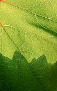 Grape Leaves Prints - Patterns In Nature Print by Heidi Smith