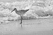 Sandpipers Posters - Pause Poster by Betsy A Cutler East Coast Barrier Islands