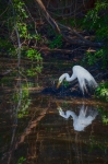 Great Egret Posters - Pause for Reflection Poster by Rob Travis
