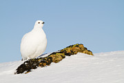 Ptarmigan Prints - Pausing on a Boulder Print by Tim Grams