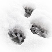 Blizzard Framed Prints - Paw print  Framed Print by Tom Gowanlock