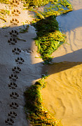 Pawprints In The Sand Print by Parker Cunningham