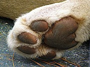 Cat Paw Originals - Paws for Thought by Frances Hodgkins