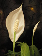 Ann Fellows Acrylic Prints - Peace  Lily Acrylic Print by Ann Fellows