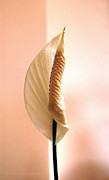 Blooms Photos - Peace Lily Awakening by Cricket Hackmann