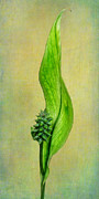 Lily Stamen Prints - Peace Lily Print by David and Carol Kelly