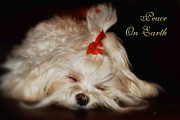 Sleeping Maltese Prints - Peace On Earth Print by Lois Bryan