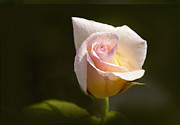Yellow Rosebud Photos - Peace Tea Rose by Margie Hurwich
