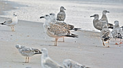 Timing Framed Prints - Peaceful Gulls Framed Print by Betsy A Cutler East Coast Barrier Islands