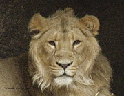 Lainie Wrightson - Peaceful Lion
