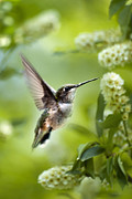 Ruby Throat Hummingbird Prints - Peaceful Love Print by Christina Rollo