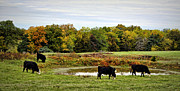 Black Angus Framed Prints - Peaceful Pastures Framed Print by Cricket Hackmann