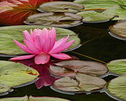 Pamela Phelps Framed Prints - Peaceful Pink Water Lily Framed Print by Pamela Phelps
