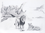 Lion Drawings Originals - Peaceful Pride by Joette Snyder