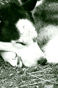 Husky Prints - Peaceful Slumber Print by Leanne Brewster