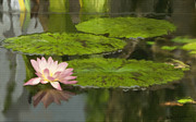 Lotus Lily Posters - Peaceful Water Lily Pond Poster by Elizabeth Alexander