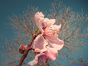 Fruit Tree Art Prints - Peach Blossom 2013 Print by Joyce Dickens