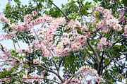 Cassia Photos - Peach Blossom Cassia by Andres LaBrada