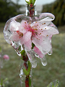 Winter Promise Prints - Peach Blossom in Ice Print by Sheri Lauren Schmidt