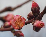 Linda  Smith - Peach Blossom