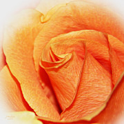 Jennifer Muller - Peach Colored Rose