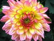 Kitchen Photos Prints - Peach Dahlia Print by Will Boutin Photos