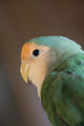 Peach Faced Lovebird Bird Posters - Peach Faced Lovebird 1 Poster by Jason Standiford