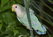 Peach-faced Lovebird Posters - Peach faced Lovebird Poster by Bill Dodsworth