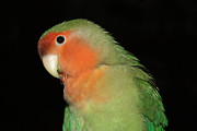 Peach-faced Lovebird Posters - Peach Faced Lovebird Poster by Terri  Waters
