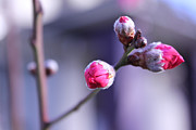 Peach Photo Originals - Peach Flowers in Early Spring by Xin Yan