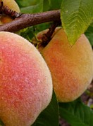 Peaches Photo Prints - Peach Fuzz Print by Susan Garren