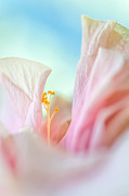 Flower Design Photo Prints - Peach Hibiscus. Macro Print by Jenny Rainbow