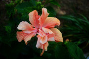 Green Leaves Pyrography Posters - Peach Hibiscus  Poster by Malgorzata Fairman