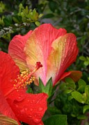 Peach Photo Originals - Peach Hibiscus by Warren Thompson