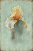 Bearded Iris Posters - Peach Iris Poster by Angie Vogel