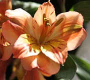 Cathy Lindsey Photos - Peach Peruvian Lily Close Up 2 by Cathy Lindsey