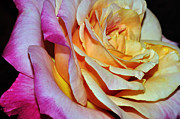 Variegated Prints - Peach Pink Passion Print by Kaye Menner