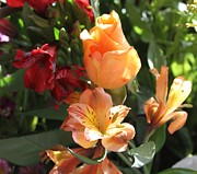 Cathy Lindsey Photos - Peach Rose and Peruvian Lilies by Cathy Lindsey