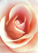 Floral Photographs Prints - Peach Rose Print by Kathy Yates