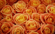 Peach Photo Originals - Peach Roses by Jolanta Prunskaite