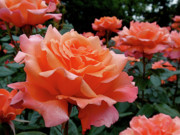 Rosaceae Prints - Peach Roses Print by Rona Black