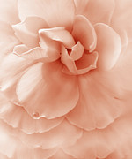 Begonias Posters - Peach Ruffled Begonia Flower Poster by Jennie Marie Schell