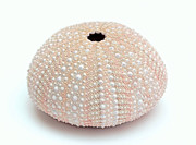 Sea Shell Prints - Peach Sea Urchin White Print by Jennie Marie Schell