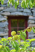 Old Mill Of Guilford Prints - Peach Tree At The Old Mill of Guilford Print by Sandi OReilly