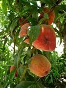 Peaches On The Tree Print by Kerri Mortenson