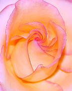 Peach Prints - Peachy Rose Print by ABeautifulSky  Photography